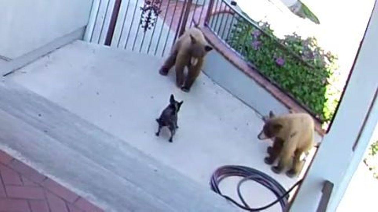 Quand un chien de neuf kilos fait fuir deux jeunes ours