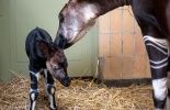 123 Zoo d'Anvers: naissance d'un okapi, maillon d'un programme international