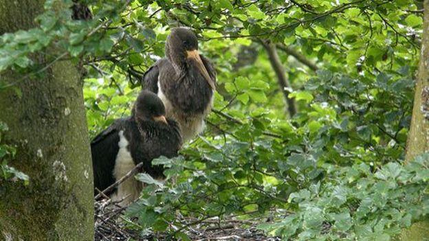 La cigogne noire réside en zone humide