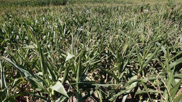 Illustration: le maïs OGM